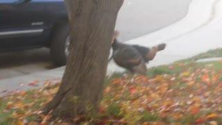 Tom Turkey in Yard