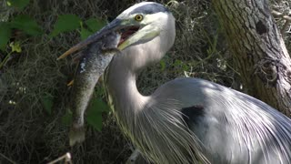 Great Blue Heron with a large catfish