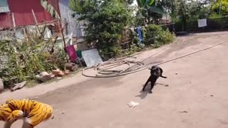 Prank tiger with dog comedy