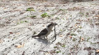 Kookaburra Chuckles After Catching a Snake for Lunch