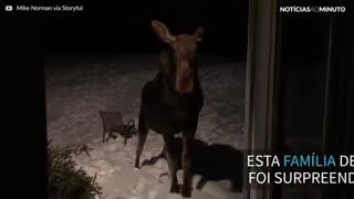 Alce invade varanda em New Hampshire