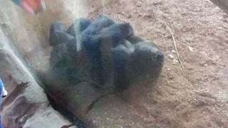 Gorila risueño 🤣🤣🤣😍