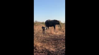 Adorable Baby Elephant Gets Brave