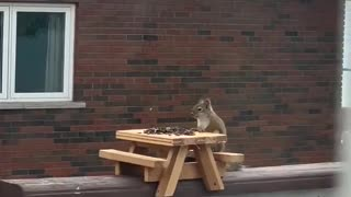 Squirrel Shows off Perfect Table Manners