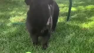 Dog Plays with butterflies