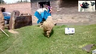 Funny Sheep People Compilation - Funniest Animals Videos 2021