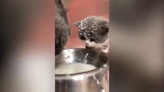 funny cat drink milk