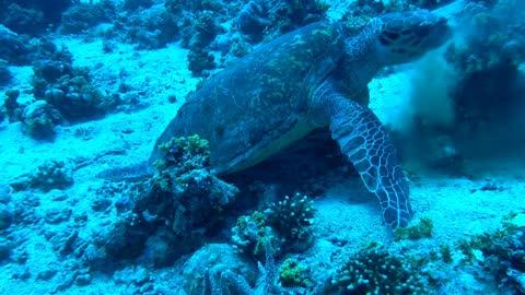 Hawksbill sea turtle in the Red Sea 5