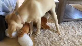 Cute Labrador Dog Playing Puppy