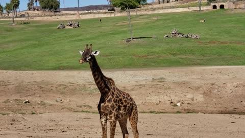 Giraffe Wild Animal Park