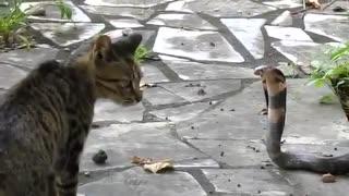 cobra vs cats