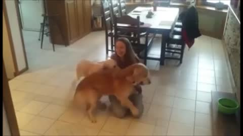 Golden Retrievers enthusiastically welcome home owner