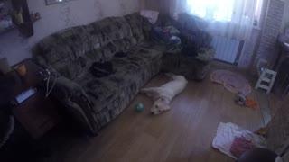 Sweet puppy labrador ate a cardboard box