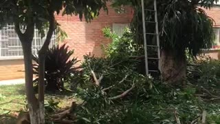 Ciudadanos denuncian tala de árboles en Conucos