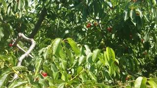 Cherry picking nice