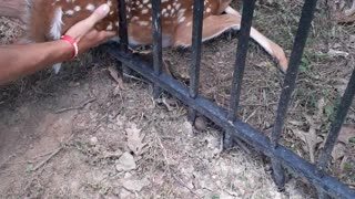 Men Save Fawn Stuck in Metal Fence
