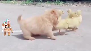 Cute little dog adorable duck moment fun