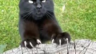 Terror Cat Attack video Compilation