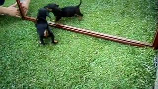 Daschund puppy fighting with the mirror