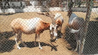 African Horned Oryx