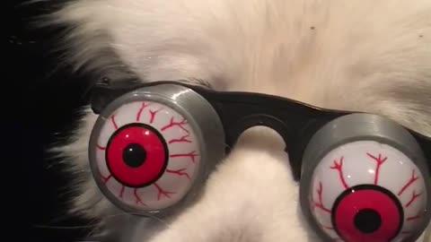 Silly Samoyed shows off googly eye glasses