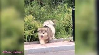 Baby Alaskan Malamute