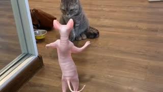 Cat prank. Must watch