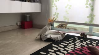 Cockatoo Takes a Ride on a Roomba