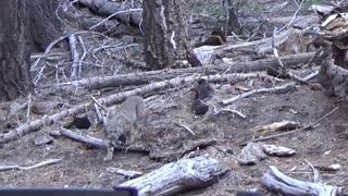 Big Bear Bobcat