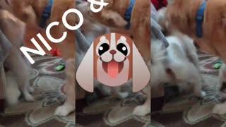 Bourbonnais Middle Class Dogs Nico Cody