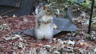 a squirrel searching food on the ground 2021