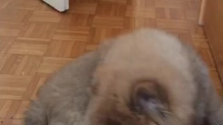 Puppy plays with the tail