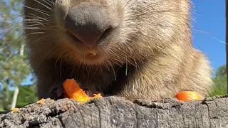 Wombat eating
