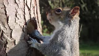 Watch closely Squirrel Eating From Tree Trunk