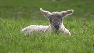 Lamb best video must watch