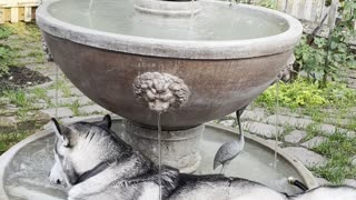 Husky Stays Cool in Flowing Fountain