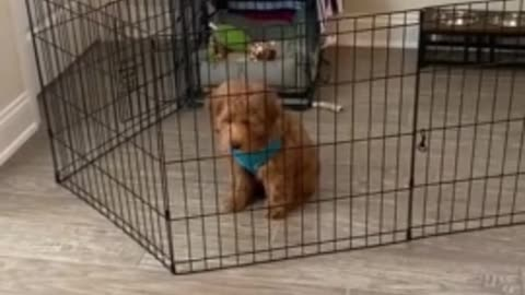 Puppy works smart, not hard - easily bypasses gate 2020