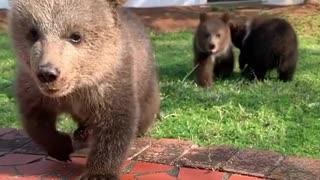showing baby bears running