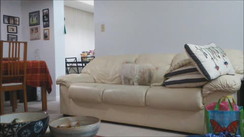Dog Digs Imaginary Hole In Couch Before Relaxing