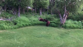 Mama Bear with Cubs Bluff Charges Deck