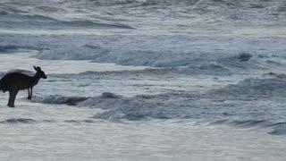 Kangaroos Enjoying a Swim at the Beach