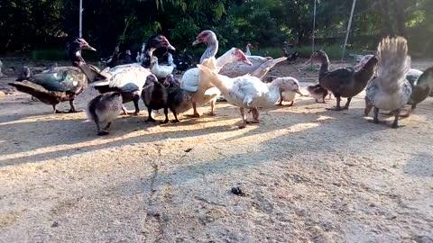 Hungry African Ducks On Farm