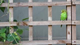 Green Budgerigar Birds