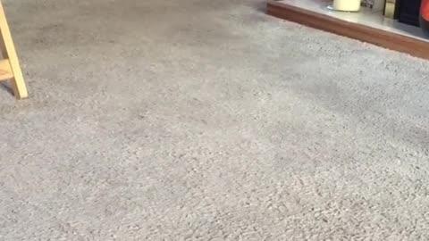 Rabbit Pet Wondering Around the House In Speed