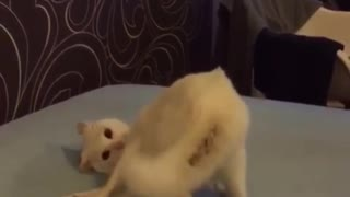 Goofball cat falls right off the bed during playtime