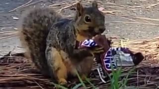 Squirrel Eating Snickers