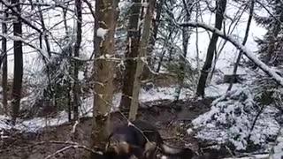 Determined German Shepherd rips down huge tree branch