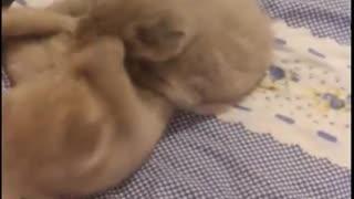 Scottish Kittens!