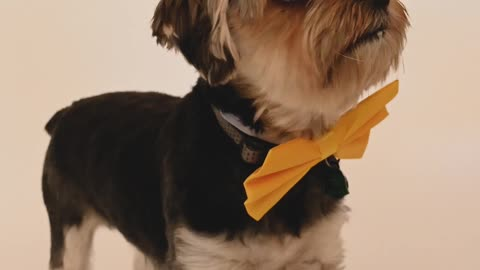 Dog with Yellow Bow Tie