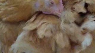Chicken Warms Herself as Dog Steals Her Food